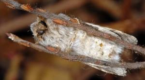Drymonia ruficornis 3