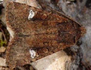 Dryobota labecula 06 2