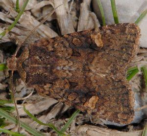 Dryobota labecula 3