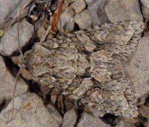 Dryobotodes eremita 1
