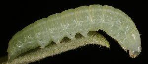Dryobotodes monochroma