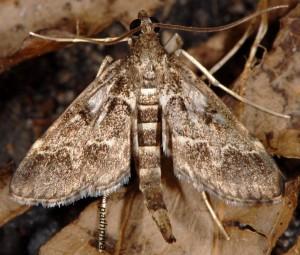 Duponchelia fovealis 06 1