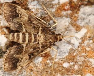 Duponchelia fovealis 06 2