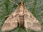 Duponchelia fovealis 06 3