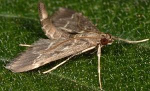 Duponchelia fovealis 06 4
