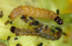 Duponchelia fovealis L3 06 2