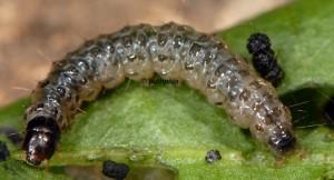 Duponchelia fovealis L5 06 4