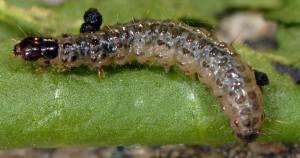 Duponchelia fovealis L5 06 6