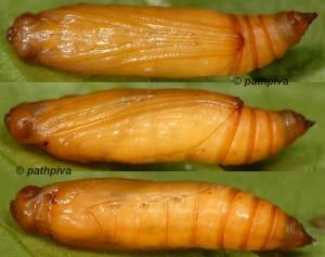 Duponchelia fovealis chrysalide 06 1