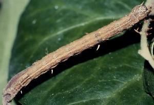 Dysgonia algira L5 3