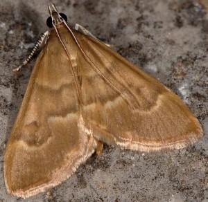Ecpyrrhorrhoe diffusalis 06 1