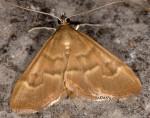 Ecpyrrhorrhoe diffusalis 06 2
