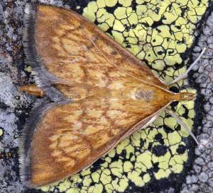 Ecpyrrhorrhoe rubiginalis 06 1