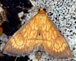 Ecpyrrhorrhoe rubiginalis 06 3