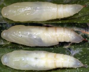 Ecpyrrhorrhoe rubiginalis chrysalide 06 1