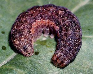 Egira conspicillaris L5