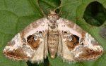Elaphria venustula (i)