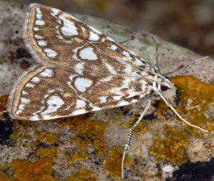 Elophila nymphaeata 13 1
