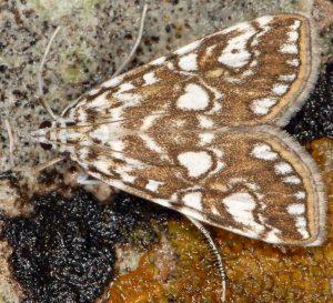 Elophila nymphaeata 13 2