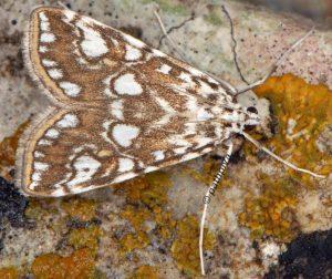 Elophila nymphaeata 13 3