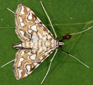 Elophila nymphaeata 13 4