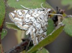 Elophila nymphaeata 2B 1