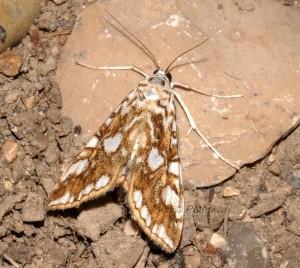 Elophila nymphaeata 34 1