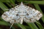Elophila rivulalis 66 1