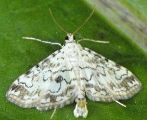 Elophila rivulalis 66 2