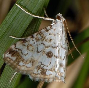 Elophila rivulalis 66 3