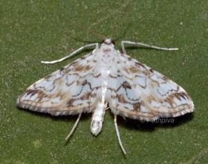 Elophila rivulalis 66 4