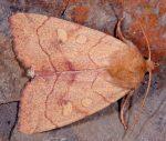 Enargia paleacea (I)