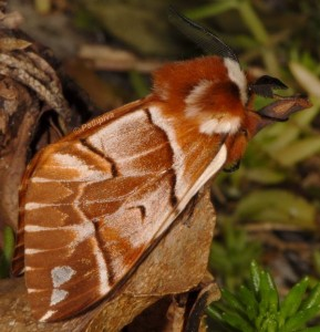 Endromis versicolora 2
