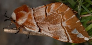 Endromis versicolora 3