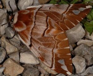 Endromis versicolora 4