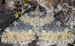 Entephria cyanata 04 1