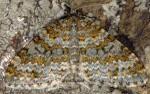 Entephria flavicinctata 04 3