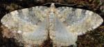 Entephria nobiliaria 04 1
