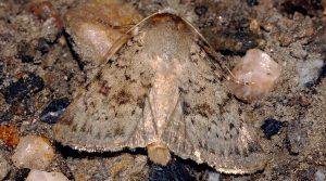 Epipsilia grisescens