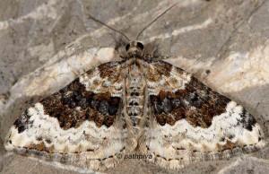 Epirrhoe galiata 06 4