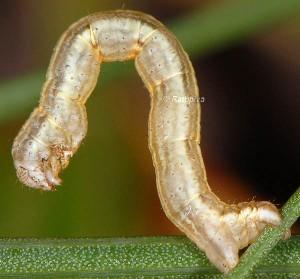 Epirrhoe galiata L4 06 1