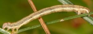 Epirrhoe galiata L4 06 2