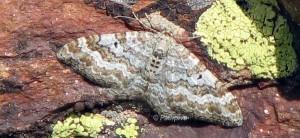 Epirrhoe molluginata 06 2