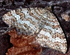 Epirrhoe molluginata 06 3