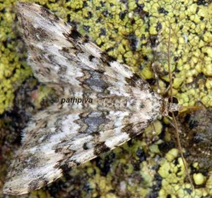 Epirrhoe timozzaria 2B 6