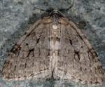 Epirrita autumnata 06 2
