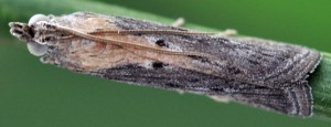 Epischnia illotella 34 2