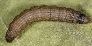 Epischnia illotella L5 06 1