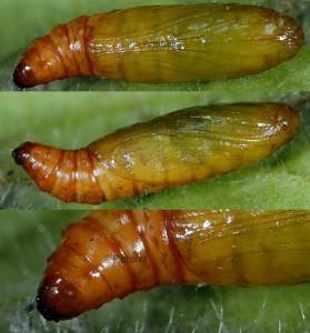 Epischnia illotella chrysalide 06 1