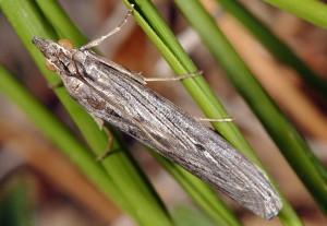 Epischnia prodromella 06 2